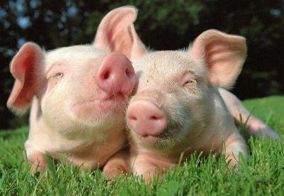 山东统筹省以上财政资金近5亿元扶持生猪产业发展