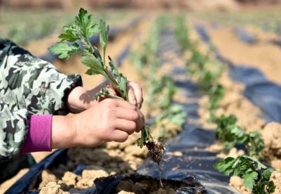 安徽巢湖:230亩菊花基地  助力村民脱贫致富