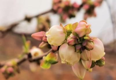 安徽怀宁:蓝莓花开铺满致富路