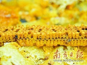 广东廉江荔枝园:与蜂共舞 酿造甜蜜