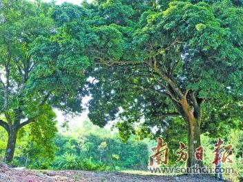 廉江石角镇木马村、和寮镇榄排村入围国家森林乡村
