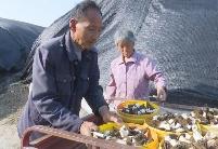 安徽怀远:引种羊肚菌 土地能生金