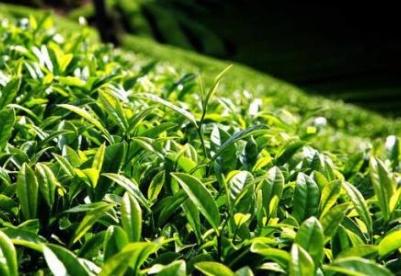 第12届贵州茶文化节暨茶产业博览会5月28日举行