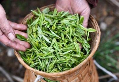 春茶破局 脱贫在望 一季度贵州省春茶生产实现开门红