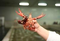 在线等,湖北十万吨小龙虾等你下单