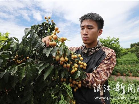 """广东雷州:引进新品种 千亩旱坡地变身""""聚宝盆"""""""