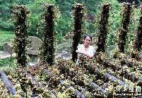 """""""仙草""""石斛产业在中国西南花开正盛"""
