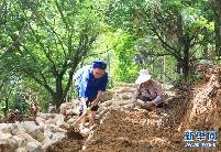 贵州黔西南:林下菌药种植忙