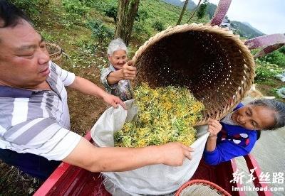 贵州绥阳:做大做强金银花产业助农增收