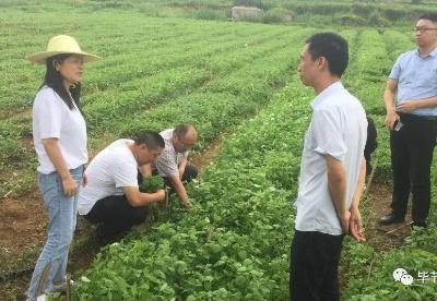 贵州省农业农村厅赴毕节市纳雍县调研中药材产业