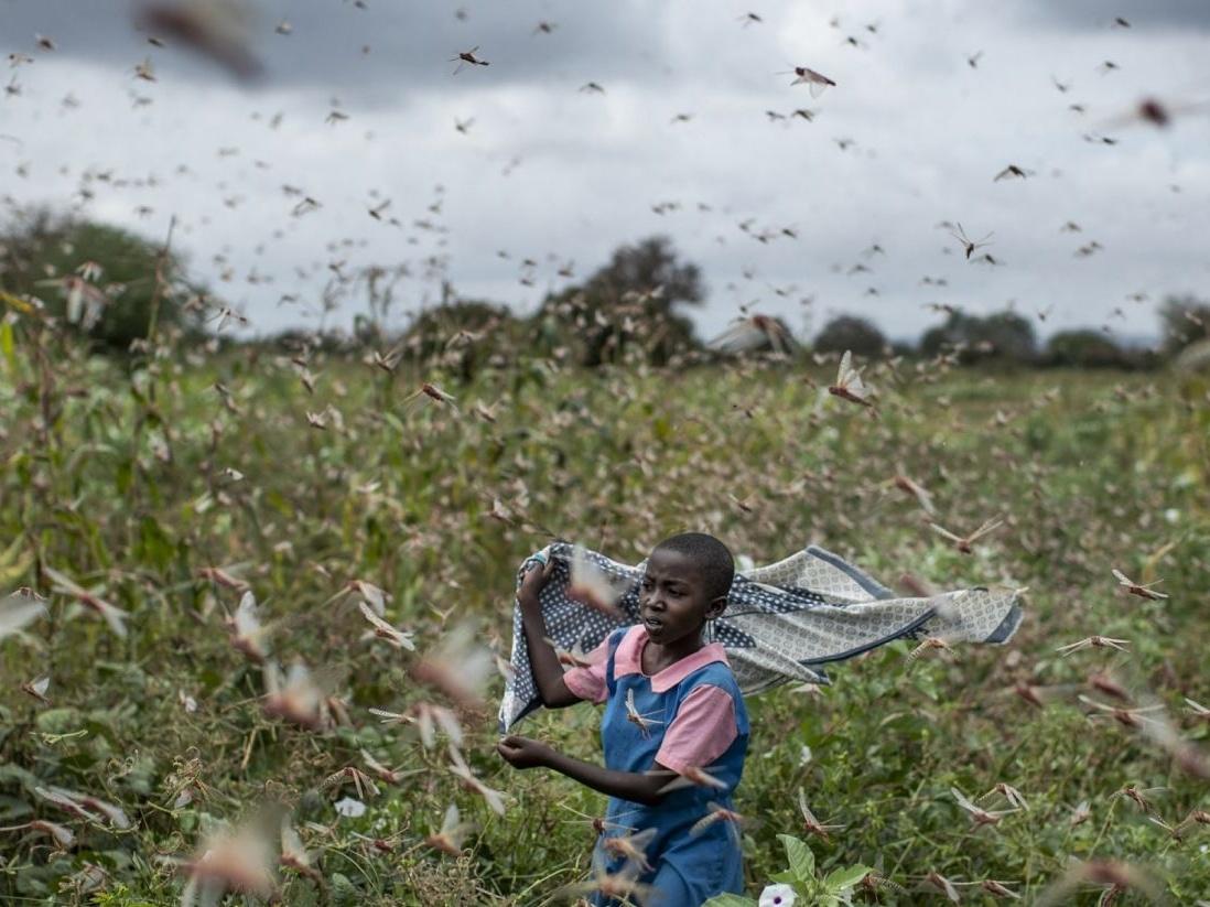 从新冠肺炎到蝗虫:非洲之角隐现的粮食危机