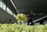贵州黔西:黄蜀葵花开出美丽经济