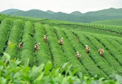 贵州阔步茶产业强省之路