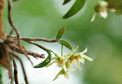 贵州省上半年石斛种植面积突破16万亩