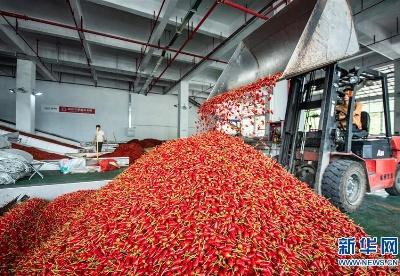 贵州遵义:辣椒丰收 红火致富