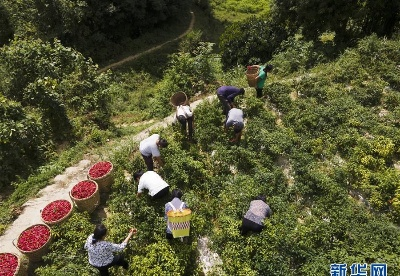 贵州遵义:辣椒丰收助农增收