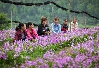 贵州天柱:打造中药材全产业链助2.4万人增收