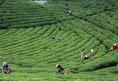 贵州省茶文化旅游产业融合发展现场观摩会在雷山召开