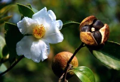 贵州发展油茶产业助力国家粮油安全