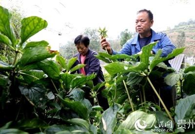 """贵州大方:用好庭院""""方寸地"""" 村民种上中药材"""