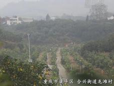 重庆梁平:万亩柚海果飘香 引16国驻成渝领事打卡