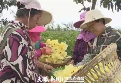 贵州纳雍县:大力种植中药材 拓宽群众致富路