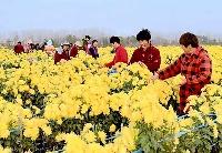 安徽固镇:菊花特色产业促进群众脱贫致富