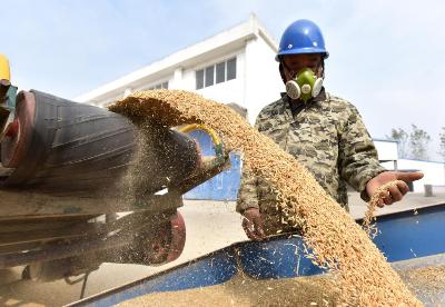 安徽巢湖:秋粮收购工作全面展开
