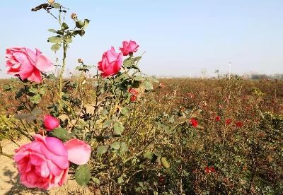 安徽阜阳颍东区大力发展花卉苗木产业