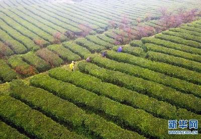 贵州立法禁止茶树种植基地使用化学除草剂