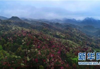 """世界面积最大的杜鹃花林即将""""多彩来袭"""""""