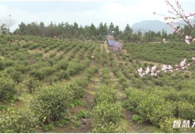 安徽无为:发展茶业产业   助推乡村振兴