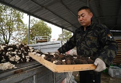安徽怀远:种植羊肚菌 土地能生金