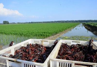 安徽无为:稻虾混养走出产业增收路