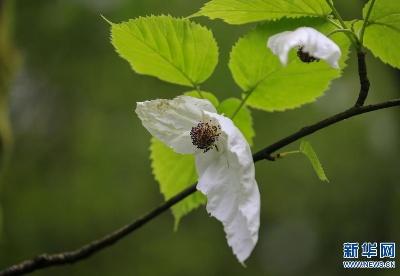 贵州纳雍:珙桐花开生态美