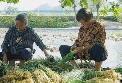 """遵义6吨香葱进入上海市民""""菜篮子"""""""