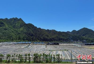 贵州成中国南方最大的夏菇生产基地