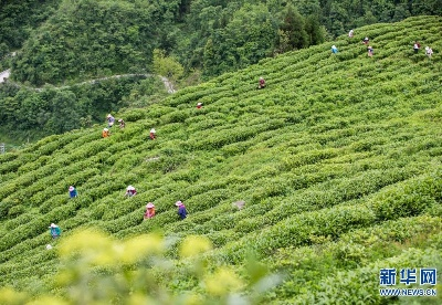 贵州毕节:乌蒙茶香
