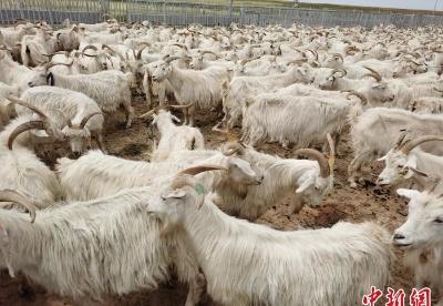 """中国西部旗县鄂托克旗借""""羊""""扬名 谋划撬开海内外市场"""