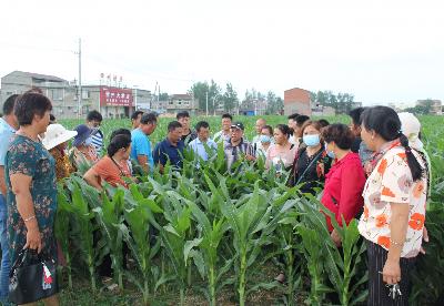 淮北濉溪县:加强夏季田管   搞好粮食生产