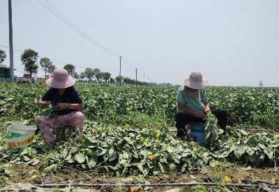 安徽蒙城:特色产业助推乡村振兴