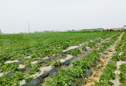 安徽灵璧:绿色农产品登上长三角餐桌