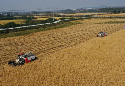 安徽巢湖:富有机硒水稻迎来丰收开镰收割
