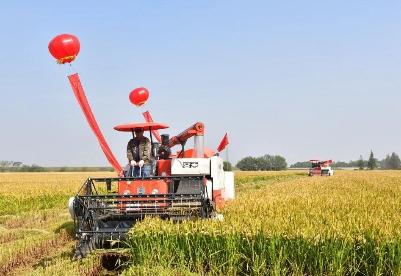 安徽巢湖:绿色水稻开镰收割