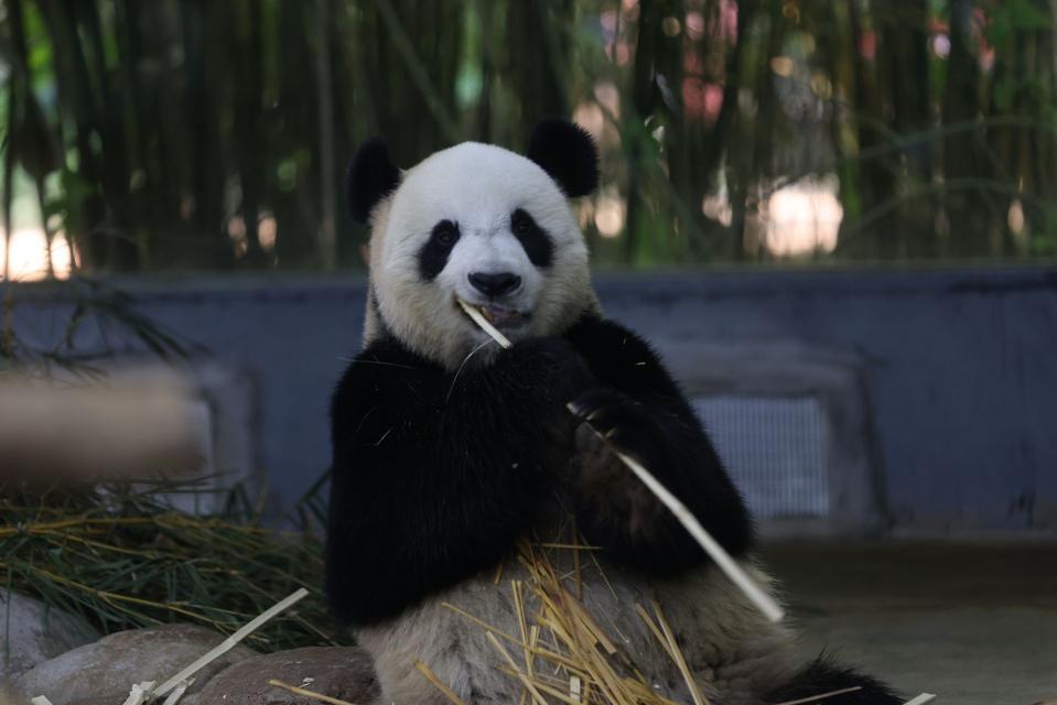 Panda Enjoys Winter